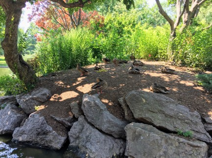 Ducks on Turtle Island