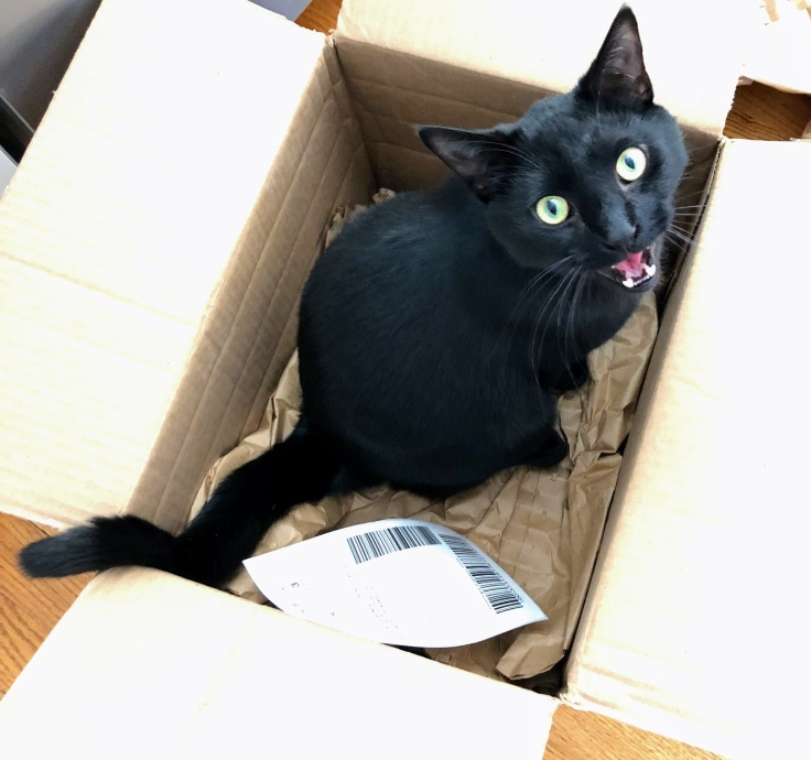 Black cat, Shadow, meowing in a box